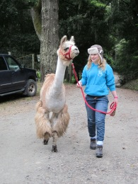 Machu - the coolest llama around